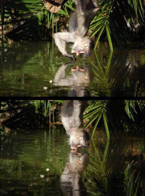 małpka całuje wodę
